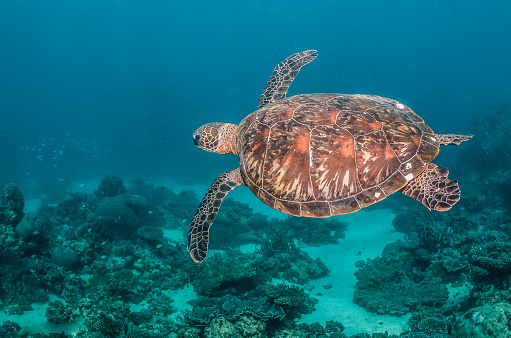 Green sea turtle swimming freely in the wild among colorful coral reef formations 1219117259
