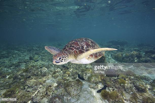 A green sea turtle swimming in the shallows of Apo Island Philippines