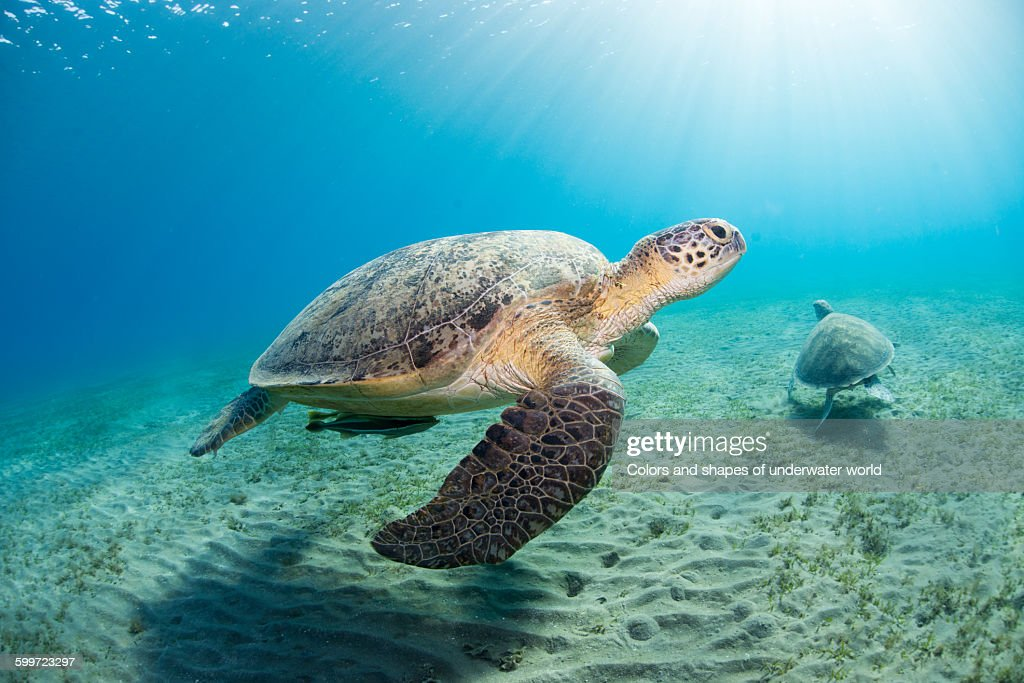 Green sea turtle swimming in the shallows : Stock Photo