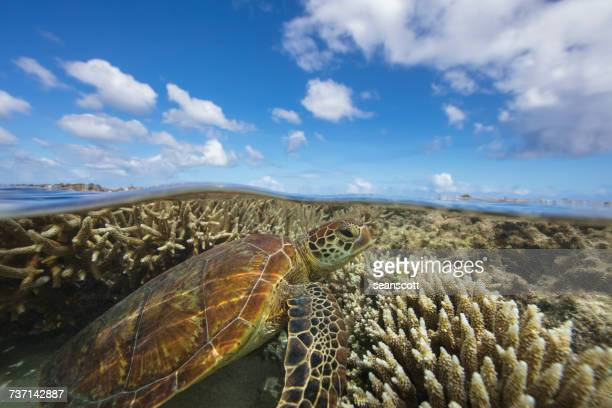 Green Sea turtle swimming over a coral reef, Lady Elliot Island, Queensland, Australia