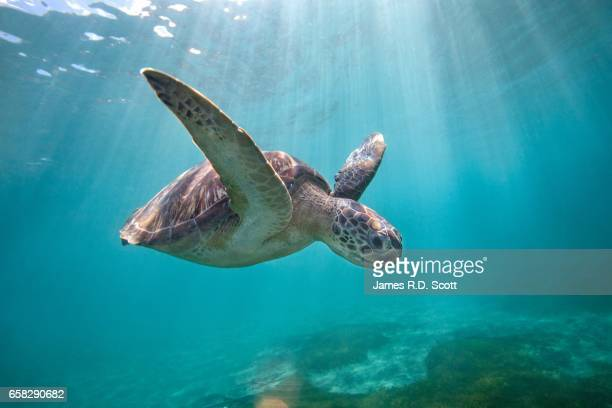 green sea turtle swimming through sun rays - martinique stock photos and pictures