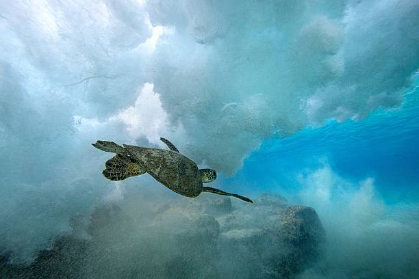 Green Sea Turtle swimming through wave