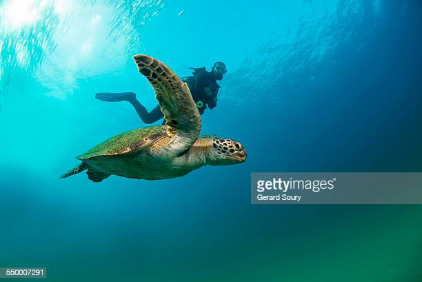 green sea turtle swimming with a scuba diver - sea of cortez stock pictures, royalty-free photos & images