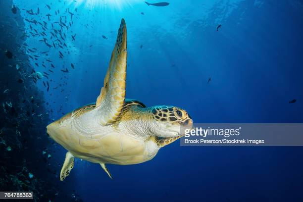A green sea turtle swims by a reef under the sun, North Sulawesi, Indonesia.