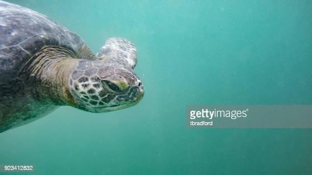 verde tortuga bajo el agua en el perú - mancora fotografías e imágenes de stock