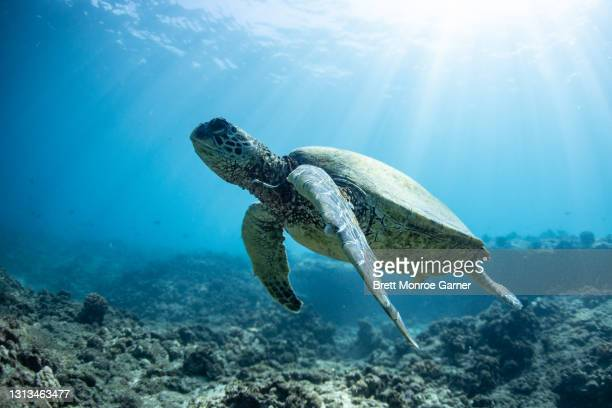 green sea turtle underwater - coral sea stock pictures, royalty-free photos & images