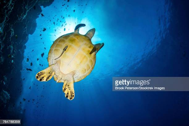 A green sea turtle with a remora swims by a reef under the sun, North Sulawesi, Indonesia.
