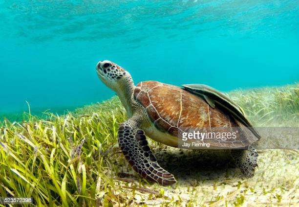 green sea turtle with remora on shell - green turtle stock pictures, royalty-free photos & images