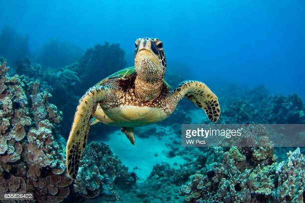 Green sea turtles Chelonia mydas are an endangered species Hawaii