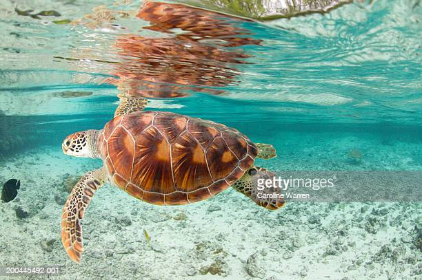 Green sea turtles (Chelonia mydas) in large lagoon
