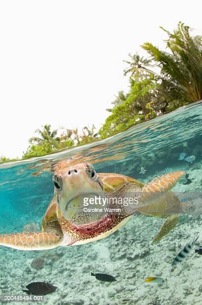 Green sea turtles (Chelonia mydas) in large lagoon