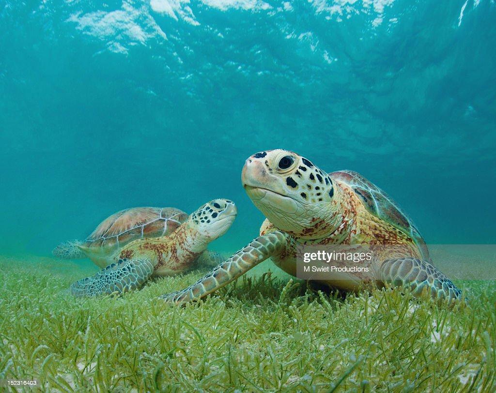 Green sea turtles : Stock Photo