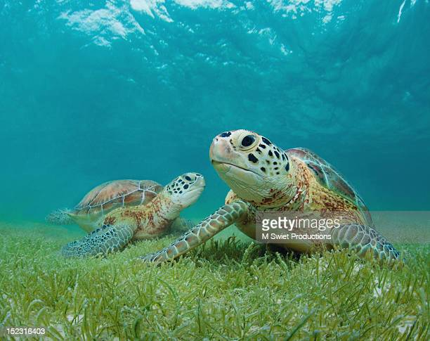 green sea turtles - green turtle stock pictures, royalty-free photos & images