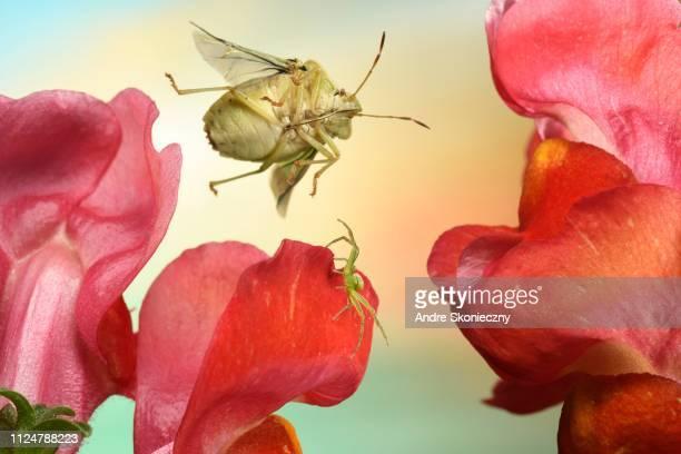 Green shield bug (Palomena prasina) in flight on lion's mouth on which a Diaea dorsata (Diaea dorsata) sits, Germany