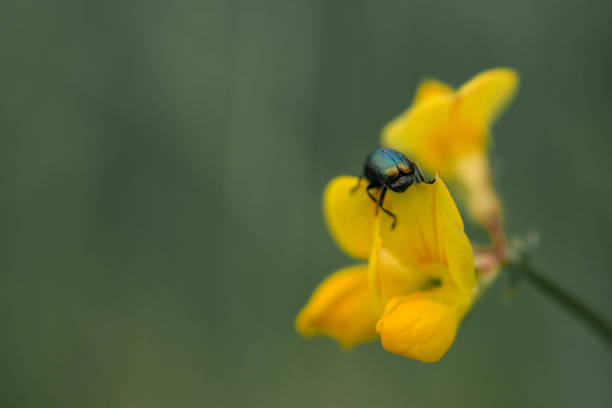 A green shiny beetle on a yellow flower