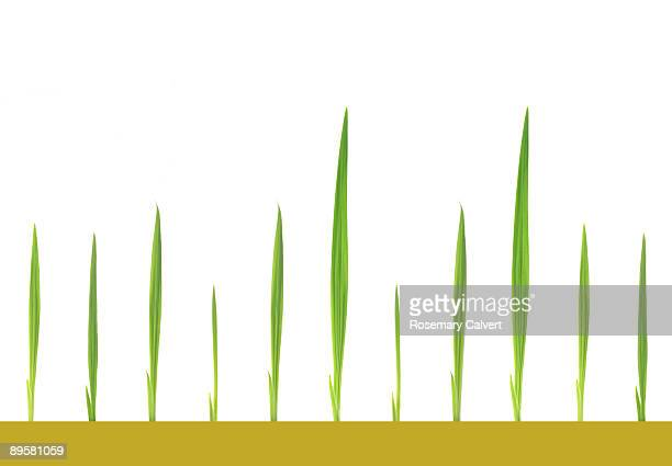 green shoots - blade of grass stock pictures, royalty-free photos & images
