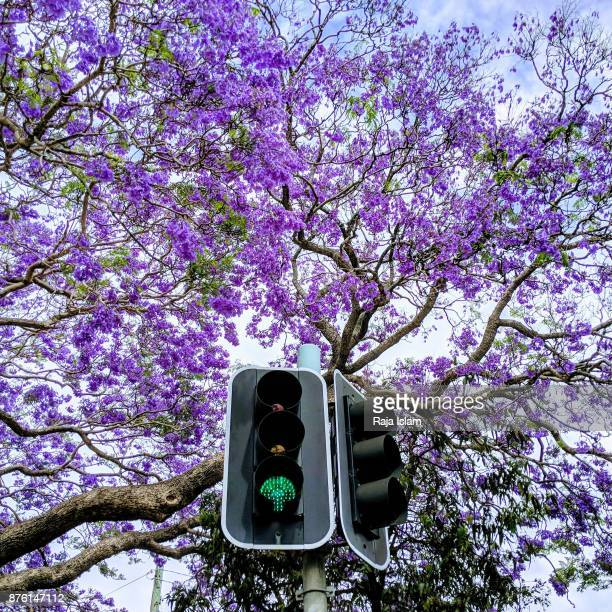 green signal with jacaranda trees - jacaranda ストックフォトと画像