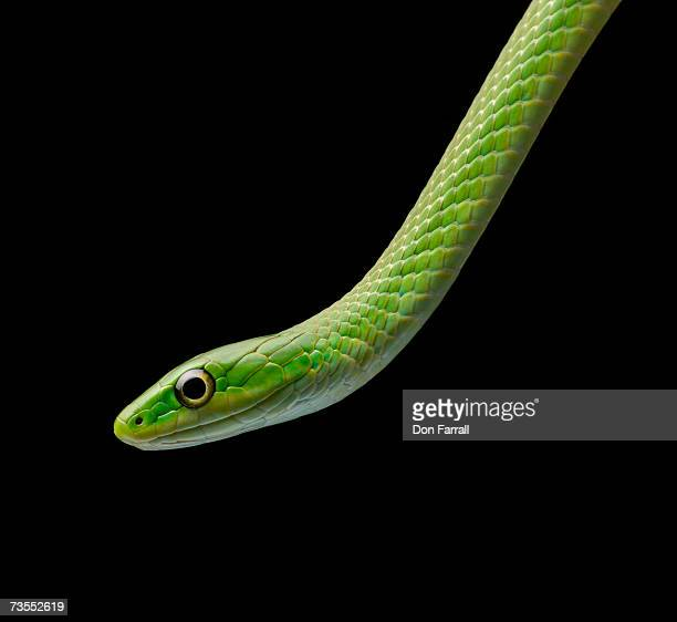 Green snake (Lioclonorophis vernalis) against black background, close-up