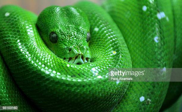 green snake - snakeskin stock pictures, royalty-free photos & images
