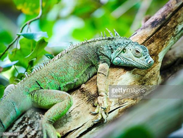 Green South American Iguana on branch resting