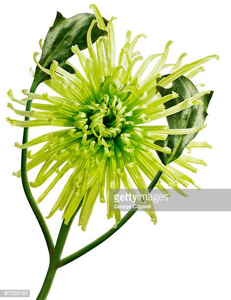 Green Spider Mum on White
