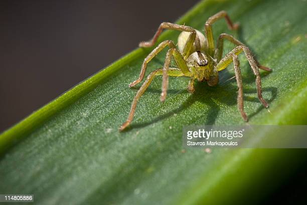 green spider on green leaf - huntsman spider stock pictures, royalty-free photos & images