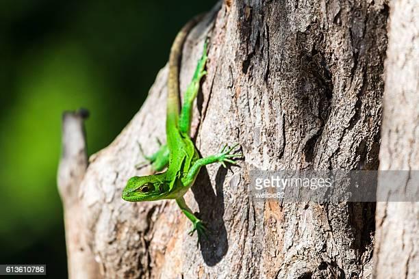 green spiny lizard on a tree - península de nicoya fotografías e imágenes de stock