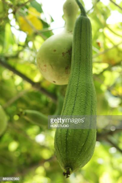 green sponge gourd and calabash on vine - loofah stock photos and pictures