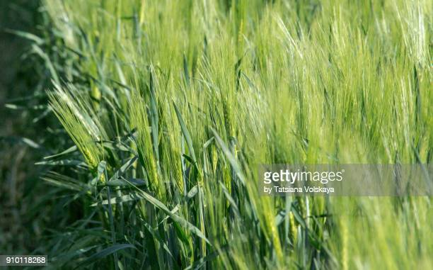 Green spring rye field abstract background