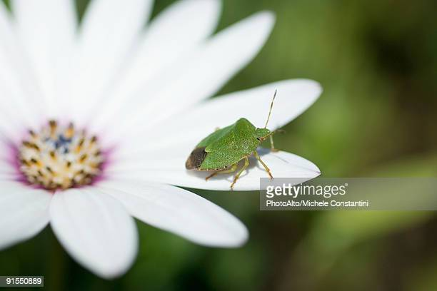 Green stink bug on flower