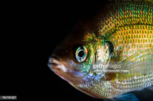 a green sunfish found in sandy channel state recreation area in nebraska. - freshwater sunfish stock photos and pictures