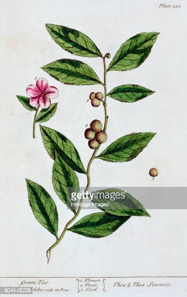 Green tea 1782 The plant from which tea is made Plate 351 from A Curious Herbal by Elizabeth Blackwell published in 1782 Artist Elizabeth Blackwell