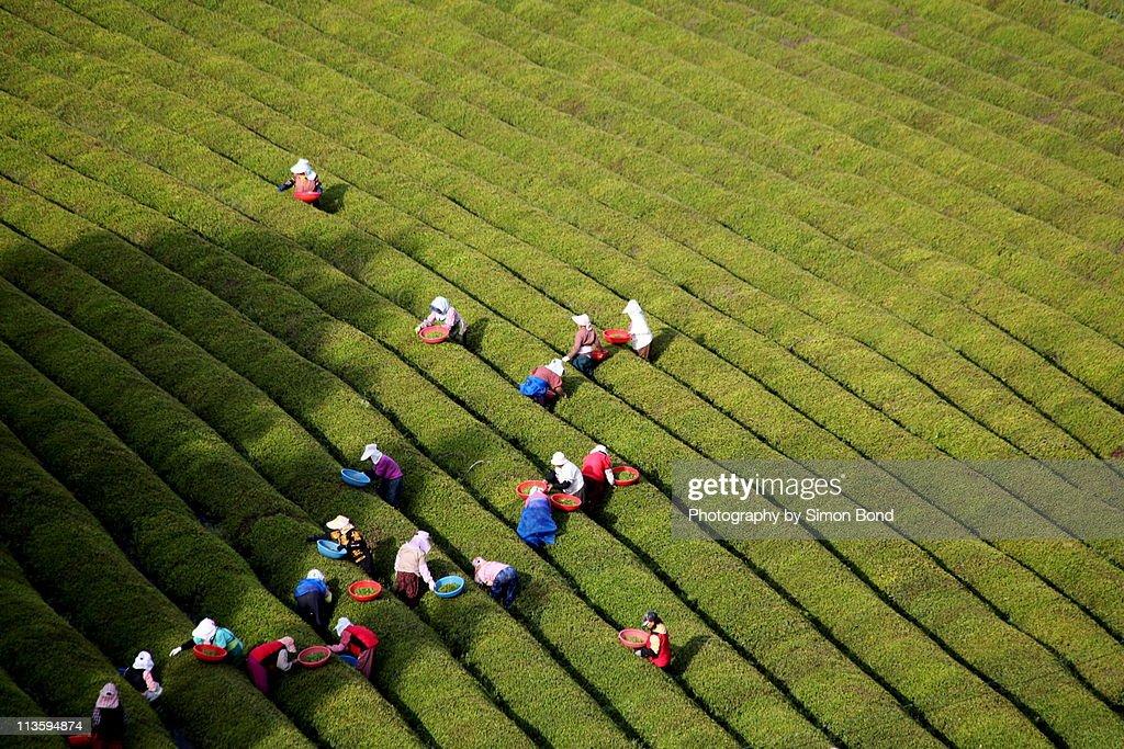 Green tea farmers : Stock Photo