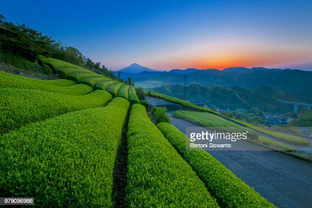 Green tea field at sunrise, Mount Fuji in background, Shizuoka, Japan