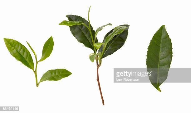 green tea leaves - tea leaves stock photos and pictures