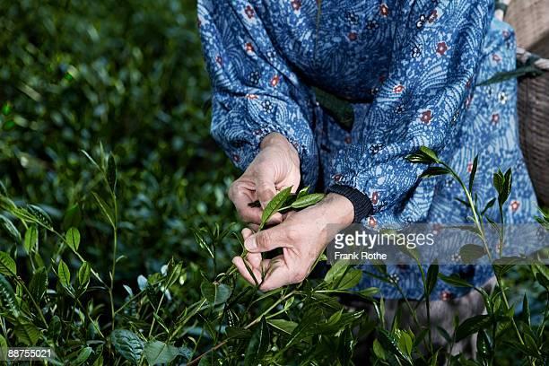 green tea picker