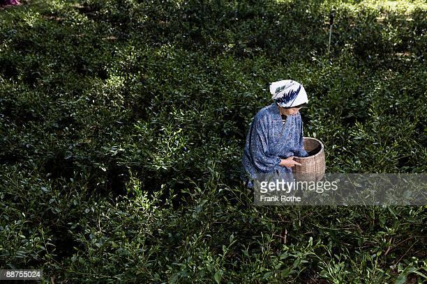 green tea picker - hoja te verde fotografías e imágenes de stock