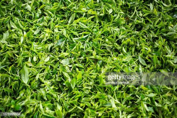 green tea - hoja te verde fotografías e imágenes de stock