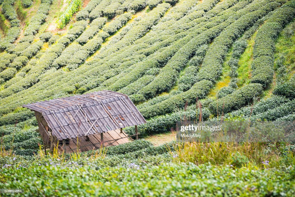 green tea plantation beautiful landscape in Chiang Mai : Stock Photo