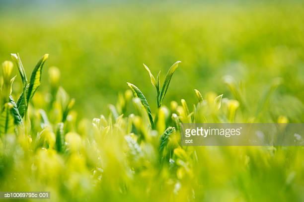 Green tea plantation, close-up, differential focus