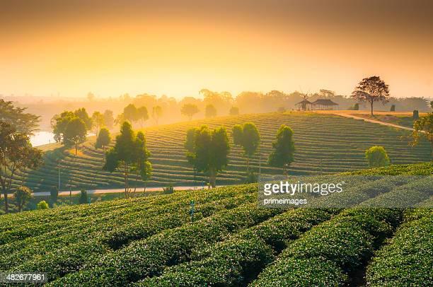 Green tea plantation in Asia