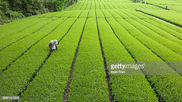 Green tea plantation in Japan