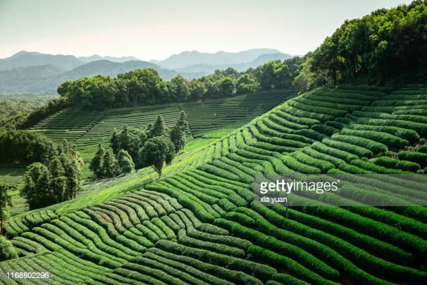green tea plantation in morning,hangzhou,china - paisajes de china fotografías e imágenes de stock