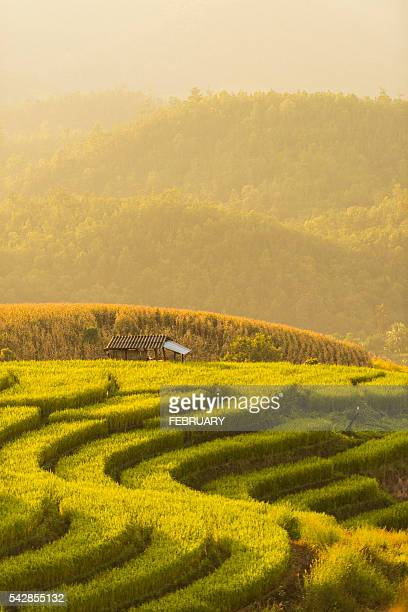 Green terraced rice field in Thailand
