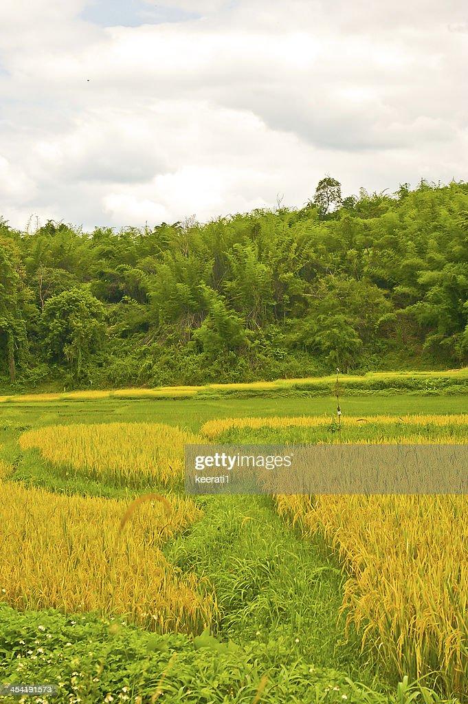 Green Terraced Rice Field : Stock Photo