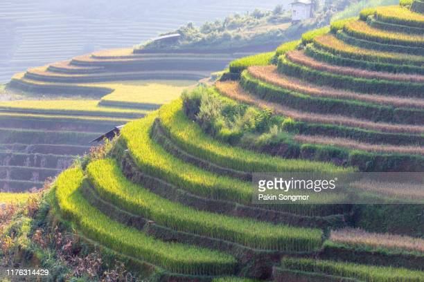 green terraced rice fields in rainny season at mu cang chai - rice terrace stock pictures, royalty-free photos & images