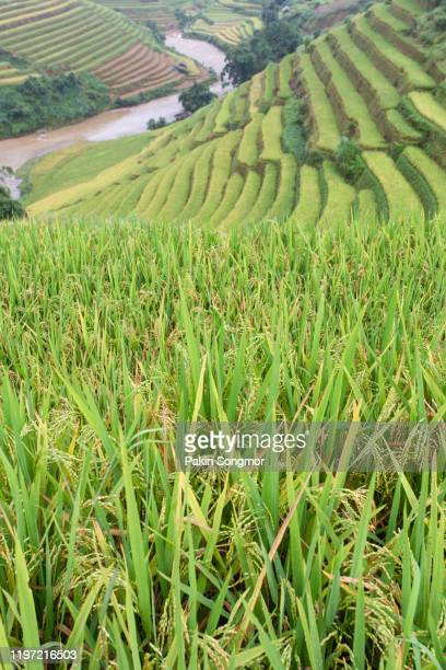 green terraced rice fields in rainny season at mu cang chai - mù cang chải stock pictures, royalty-free photos & images