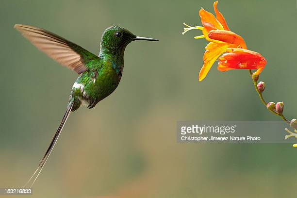 green thorntail - christopher jimenez nature photo stock pictures, royalty-free photos & images