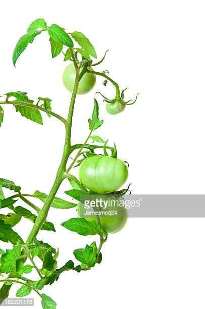 Green tomato plant against a white background