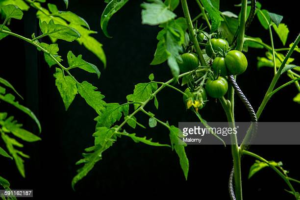 Green tomatoes ripening on vine in greenhouse